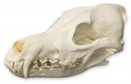 Coyote skull anatomy - photo#38