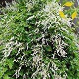 Silver LACE Vine Polygonum Aubertii 10,40 Seeds (10+ Extra)