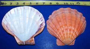 KARPP 1 Orange Lion PAW Clam Dish Single Seashell Shell Crafts Display Collector. - Beach Nautical ()