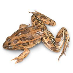 Nasco Grass Frogs (Rana sp.) - Size: 4-1/2