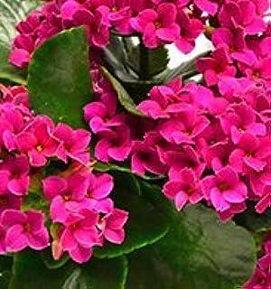 Amazon azalea lemon lights potted plant beautiful flowers hot pink kalanchoe starter potted plant spectacular hot pink flowers fresh large plants mightylinksfo