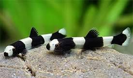 SevenSeaSupply Panda Loach Fish (YAOSHANIA PACHYCHILUS) - 2 x Live Freshwater Fish by SevenSeaSupply