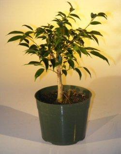 Amazon Com Pre Bonsai Ficus Midnight Bonsai Tree Large Benjamina Midnight Grocery Gourmet Food