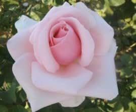 "apuldram rosas ""Savoy Hotel""–té híbrido Bush Rosa (Bare raíz)"