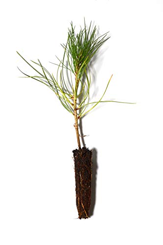 TreesAgain Lot of 10 - Ponderosa Pine Tree - Pinus Ponderosa - 3 to 7+ inches (See State ()