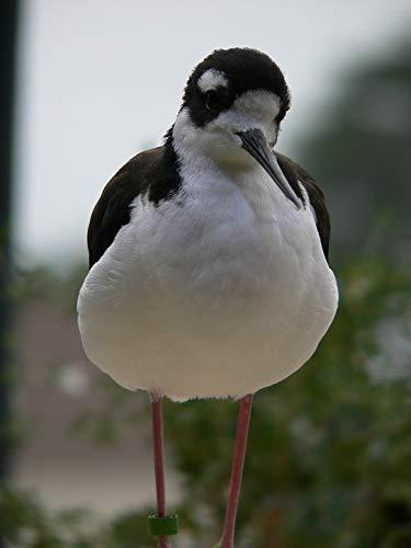 Photography Poster - Bird, Stilt, Black-Winged, Wader, 24