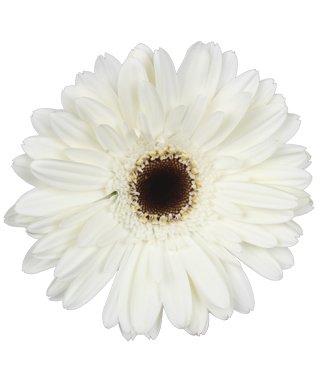 Wholesale Gerberas (70 White) by Vistaflor Fresh Flowers