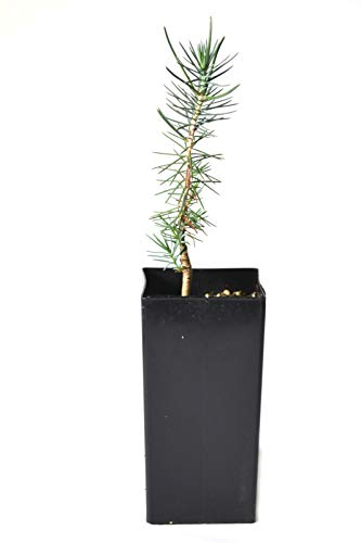 TreesAgain Potted Pinyon Pine Tree - Pinus edulis - 4 to 9+ inches #snn001