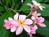 "Singapore Pink Plumeria Plant - Frangipani - 4"" pot"