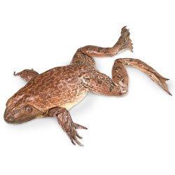 Nasco Bullfrogs (Rana sp.) – Size: 5″-6″; Injection: Plain Lab Specimen – LS02502