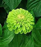 Zinnia Seeds, Green Envy Zinnia Flower, Seed Pack, Beautiful Annuals, Treasuresbylee Seed Pack
