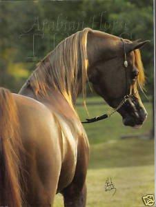 Arabian Horse Times (November 2006)