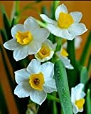 Shui Xian Hua, Narcissus Tazetta, Fragrant, Chinese Scared Lily, Single Bulb