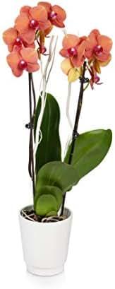 Just Add Ice JAI163 Orchid, 5