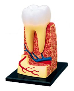 Triple-Root Molar Anatomy Model 4D Vision Human Anatomy Model by AOSHIMA