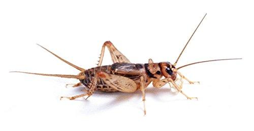 Bulk Live Crickets - 1000 count (Medium - 1/2
