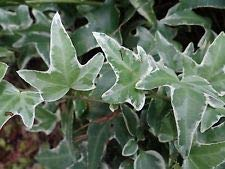 Variegated Ivy English (6 Live Rooted Plants White Green Glacier Ivy HEDERA Helix Variegated English Ivy)