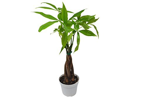 Money Tree - Pachira Braid - Bonsai - Live Plant - FREE Care Guide - 4'' Pot by House Plant Shop