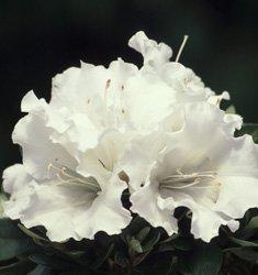 (1 Gallon) 'Gumpo White' Azalea, Huge, Bright White Single Blooms, Evergreen Shrub, Cold Hardy