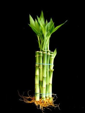 10-Stalks-1-Bundle-of-6-Straight-Lucky-Bamboo-for-Feng-Shui-or-Gifts-From-Jm-Bamboo