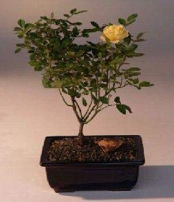 Bonsai Boy's Flowering Mini Rose Bonsai Tree Tiny Yellow