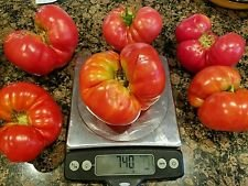 n Heirloom Flat Tomatoes, 50+ Seeds (Mediterranean Tomato)