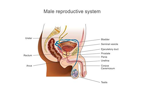 Male Reproductive Chart - Male Reproductive System Human Anatomy Chart Mural Giant Poster 54x36 inch