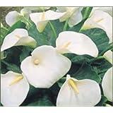 1 Calla lily GIANT White Aethiopica bulb