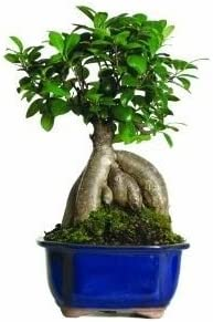 Brussels Gensing Grafted Ficus Bonsai Tree Indoor Tropical Beauty 4 Years old