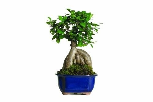 Brussels Gensing Grafted Ficus Bonsai Tree Indoor Tropical Beauty 4 Years old by gk_usa_mall