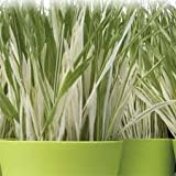 """(GCG)~""""VARIEGATED"""" CAT GRASS~Seed!!!~~~~~~~~~~Beautiful & A Treat for Kitty!"""