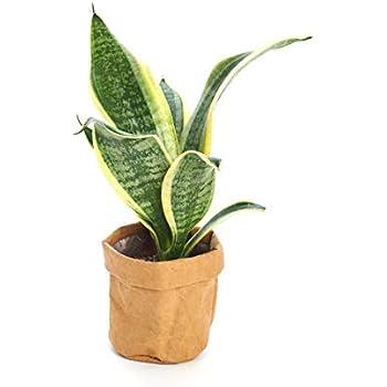 Amazon com : Shop Succulents | 'Bonnie' Curly Spider Plant