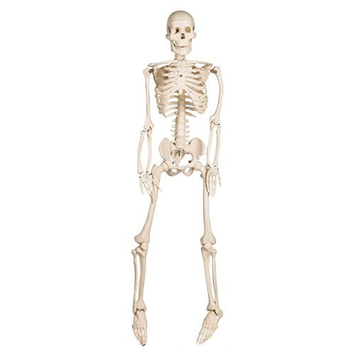 Mr. Thrifty Skeleton - Fourth Quality (Bucky Skeleton)