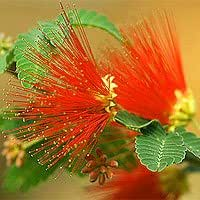 Baja Fairy Duster Seeds - Calliandra californica