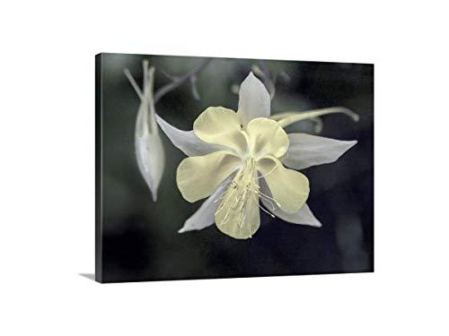 (Pale Yellow Columbine Flower Picture, Wildlife Photography Art Print)