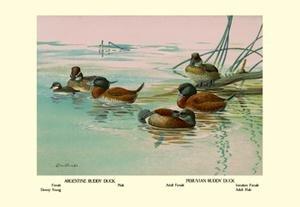 Peruvian Ruddy Ducks - Argentine and Peruvian Ruddy Ducks Paper poster printed on 12 x 18 stock.