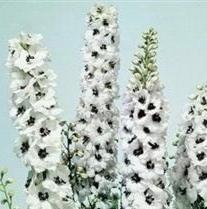 Delphinium Plants - Delphinium - Magic Fountains White with Dark Bee - 50 Seeds