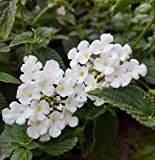 Trailing White Lantana - Lantana montevidensis Alba - Planted in 2.5 inch pots