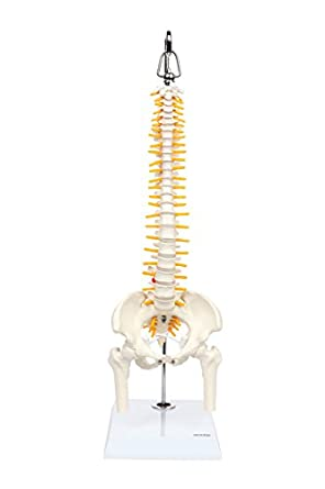 Axis Scientific Mini Flexible Spine Model | Desktop Spinal Cord ...