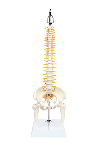 Axis Scientific Miniature Vertebral Column Anatomy Model, Includes Spinal Nerves and Comes with Sturdy Spine Stand and a 3 Year Warranty