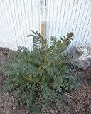 Salad Burnet Great Garden Herb by Seed Kingdom 100 Seeds