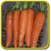 Carrot Seeds - 300 Count - Type: Tendersweet Carrots - (Isla's Garden Seeds) - Non GMO - Total Quality!