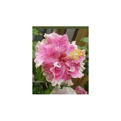 "Exotic Pink Ruffles Hibiscus Well Rooted Live Starter Plant 5"" to 7"" Tall : Garden & Outdoor"