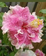 Exotic Pink Ruffles Hibiscus Well Rooted Live Starter Plant 5'' to 7'' Tall