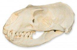 - New Zealand Sea Lion Skull (Teaching Quality Replica)
