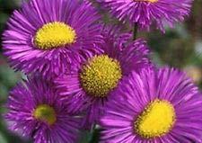 50+ ERIGERON Azure Fairy Perennial Flower Seeds/Drought Tole