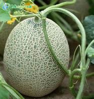 80pcs Super Big Sweet Honey-Dew Melon Seeds Hami Melon Seeds Fruit Seeds Cantaloupe Jumbo Succulent Plants