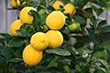 2 Lemon Starter Trees (two pots, size 4 inch, one plant per pot)