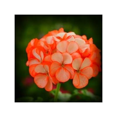 Orange Ice Geranium Flower Seed 50 Stratified Seeds : Flowering Plants : Garden & Outdoor