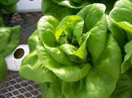 GMO-Free Hydroponic Romaine Lettuce Seeds By 5GallonBucketHydroponics